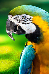 The Blue-and-yellow Macaw, also known as the Blue-and-gold Macaw, is a large South American parrot with blue top parts and yellow under parts. It is a member of the large group of Neotropical parrots known as macaws.