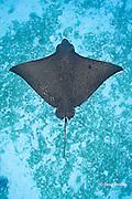 spotted eagle ray, Aetobatus narinari, at Eagle Ray City, Saipan, Commonwealth of Northern Mariana Islands<br /> Micronesia ( Western Pacific Ocean )