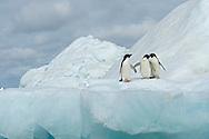 Adelie penguins on iceberg in Weddell Sea, Antarctica  (Pygoscelis adeliae)
