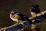 Wood Duck pair (Aix sponsa) preening
