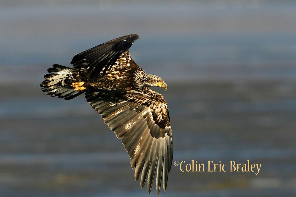 Haliaeetus leucocephalus-A juvenile Bald Eagles gather in Farmington Bay,  Utah, March, 2011.  Colin E Braley (Wild West-Media)