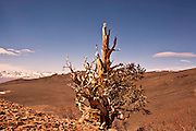 Bristlecone, Ancient, Tree, Pine, Forest, White Mountains, California, Landscape, Scenic, Photos