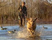 Yellow Labrador retriever and duck hunter in southern U.S. habitat