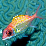 Longjaw Squirrelfish inhabit mid-range to deep reefs hide in or near dark recesses, in Tropical West Atlantic; picture taken Little Cayman .