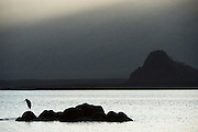 Great Blue Heron at Sunrise (Ardea herodias)<br /> Puerto Egas<br /> Santiago<br /> Galapagos<br /> Ecuador<br /> South America