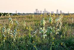 Arkansas yucca (Yucca arkansana) on Blackland Prairie remnant, White Rock Lake, Dallas,Texas, USA
