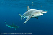 Black tip Shark, Carcharhinus limbatus, swims in Federal waters offshore Jupiter, Florida, United States, during a shark dive.