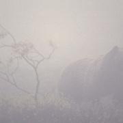 Grizzly bear (Ursus horribilis) crosses the tundra on a foggy autumn day, Alaska.