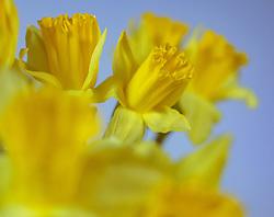 THEMENBILD - die gelbe Narzisse (Narcissus pseudonarcissus), auch Osterglocke oder Osterglöckchen genannt, weil sie in der Regel um Ostern herum blüht, aufgenommen am 02. März 2018, Ort, Österreich // the yellow narcissus (Narcissus pseudonarcissus), also called daffodil or Easter bells, because it usually flowers around Easter on 2018/03/02, Ort, Austria. EXPA Pictures © 2018, PhotoCredit: EXPA/ Stefanie Oberhauser