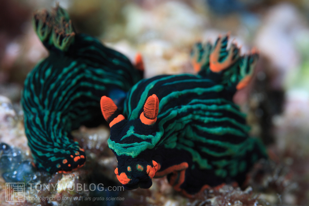 Nembrotha kubaryana nudibranchs mating on a coral reef in Ambon, Indonesia