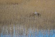 JÄMTLAND 200518<br /> Svan i sitt bo fotograferad under dagens naturtur vid Mussjön i Änge, Offerdal.<br /> Foto: Per Danielsson/Projekt.P