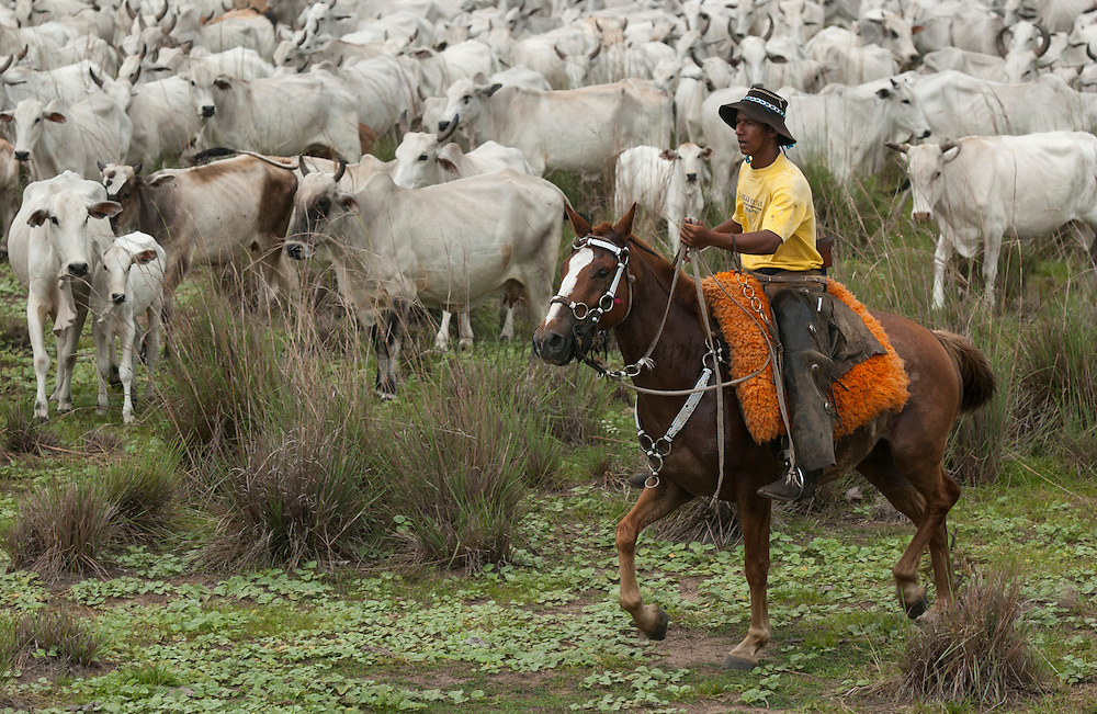 Pantanal cattle and cowboy. Once a month buyers pass through all the Fazendas buying cattle.  They walk for 3 days to get to market crossing through many more fazendas en-route.<br /> Pantanal. Largest contiguous wetland system in the world. Mato Grosso do Sul Province. BRAZIL.  South America