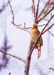 A female cardinal perched in a tree