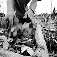 A farm worker harvests coca leaves on a plantation in Putumayo.<br />