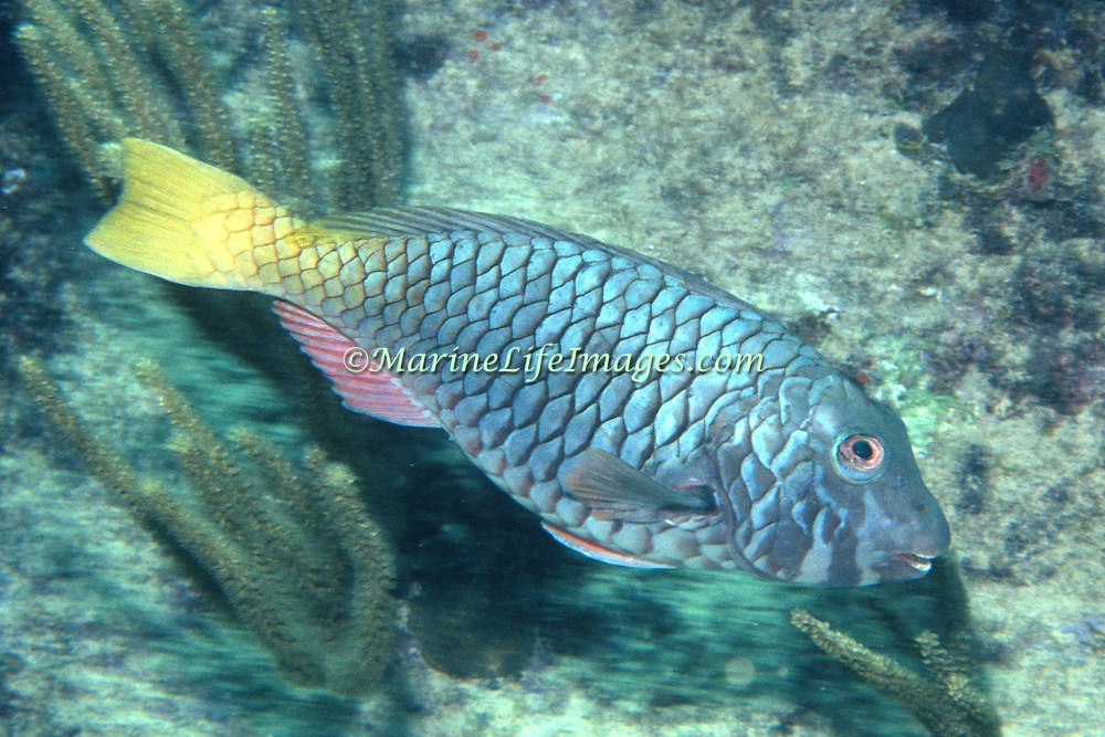 Yellowtail Parrotfish commonly in shallow areas of coral rubble and seagrass, occasionally on reefs, scrape filamentous algae from hard substrates in Tropical West Atlantic; picture taken Key Largo, FL.