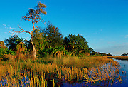 Reeds growing in the Okavango Delta in Botswana, Africa