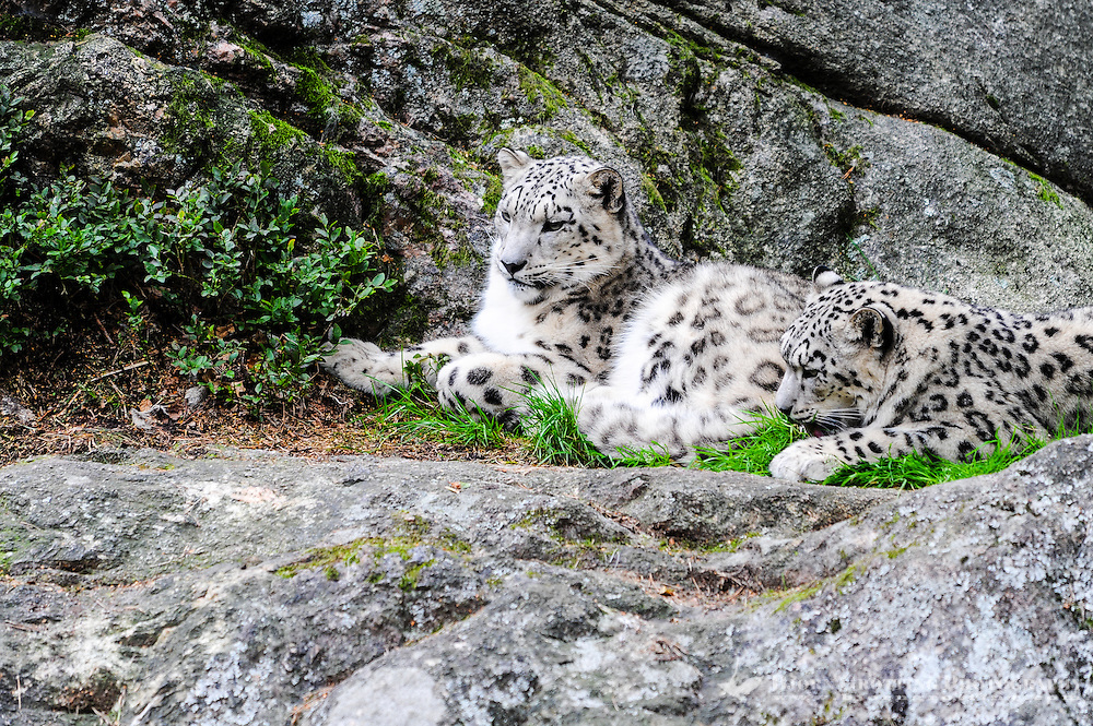Sweden. Nordens Ark (Ark of the North) is a zoo in Bohuslän. Snow leopards.