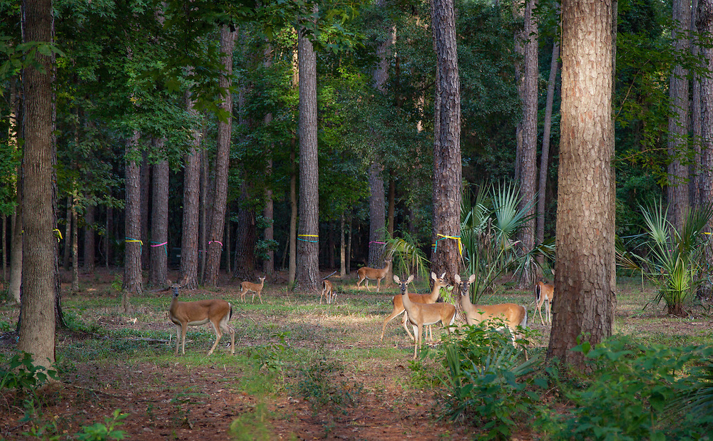 Deer graze in a May River Plantation lot that has been cleared for sale.