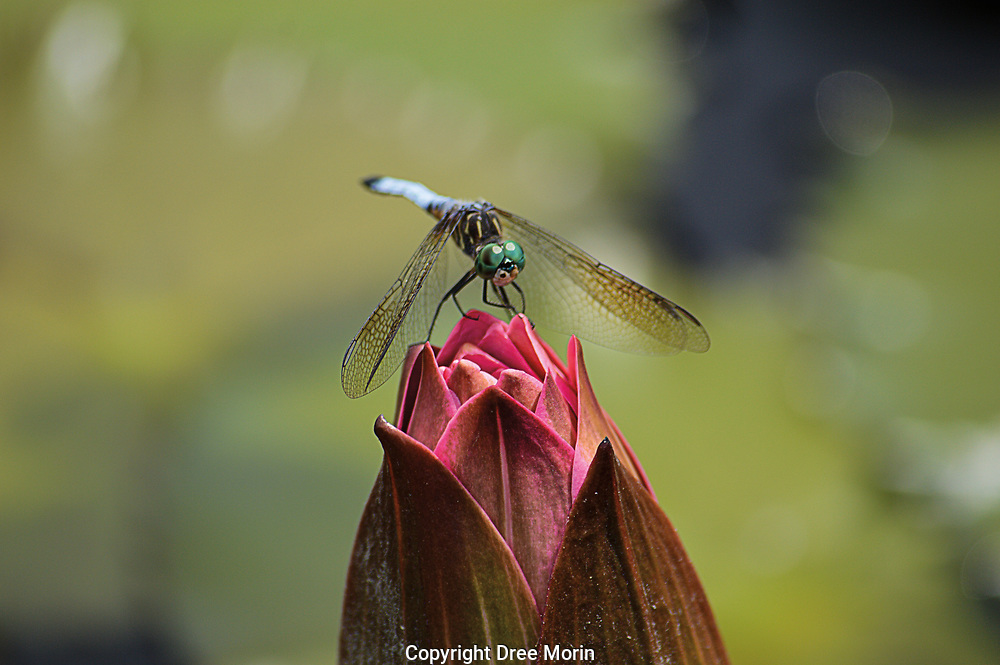 Eye to Eye with a Dragonfly // <br /> <br /> <br /> Third place in the Nature/Animals category in the American Photographic Artists 2021 Awards.