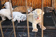WEIHAI, CHINA - <br /> <br /> Rare Tiger Cubs Nursed By dog <br />  <br /> Four tiger cubs, two golden tigers, a snow tiger, a white tiger, are born at the Xixiakou Wildlife Zoo on June 14, 2017 at Rongcheng County in Weihai, Shandong Province of China. Baby tigers were born by a 5-year-old Bengal tiger. Working Staff of the Xixiakou Wildlife Zoo found a dog to feed the four baby tigers.<br /> ©Exclusivepix Media
