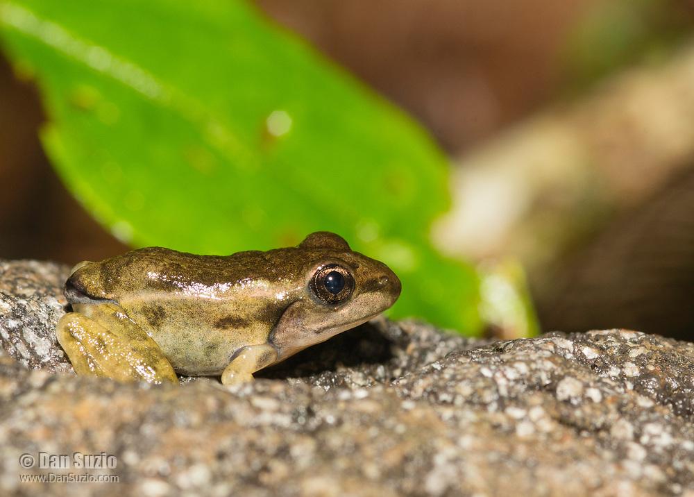 Taylor's Leopard Frog (Peralta Frog), Lithobates taylori (formerly Rana taylori), metamorph, near Arenal Volcano National Park, La Fortuna, Costa Rica