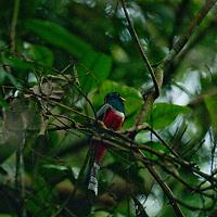 A male Blue-crowned Trogon (Trogon curucui) perches on a branch in Peru's Amazon Jungle.