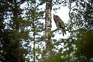 JÄMTLAND 2100622<br /> Lappugglan spanar efter byten från sin gren under en naturtur i skogarna utanför Östersund.<br /> Foto: Per Danielsson/Projekt.P