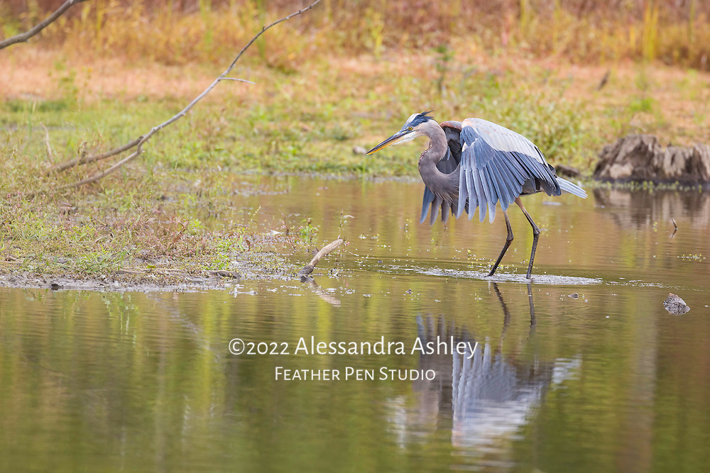 """Great blue heron exhibiting animated """"dancing"""" behavior while fishing at North Chagrin Reservation."""