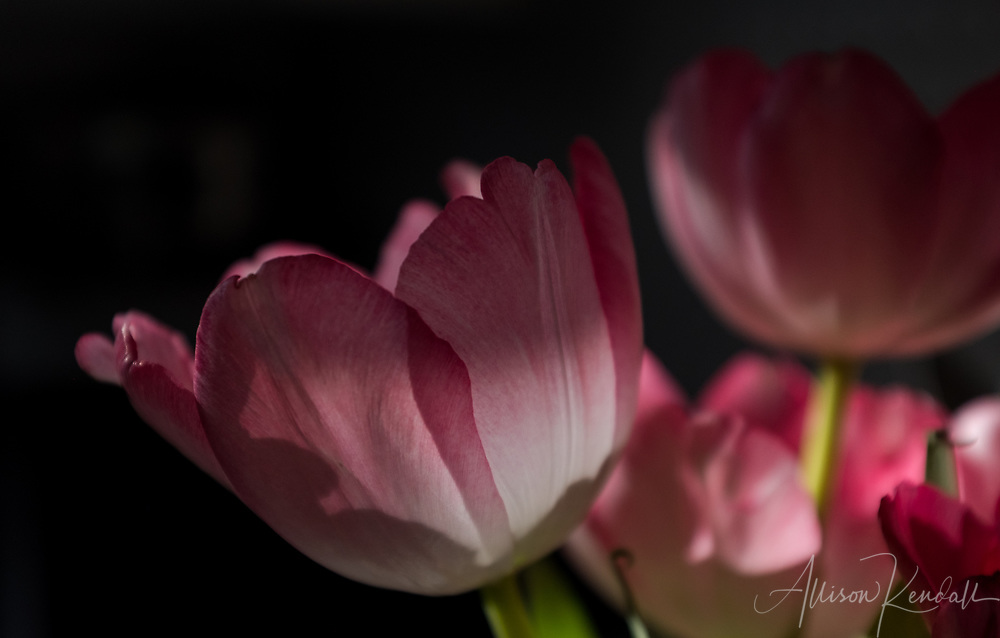 Pink tulips in rays of winter sunlight
