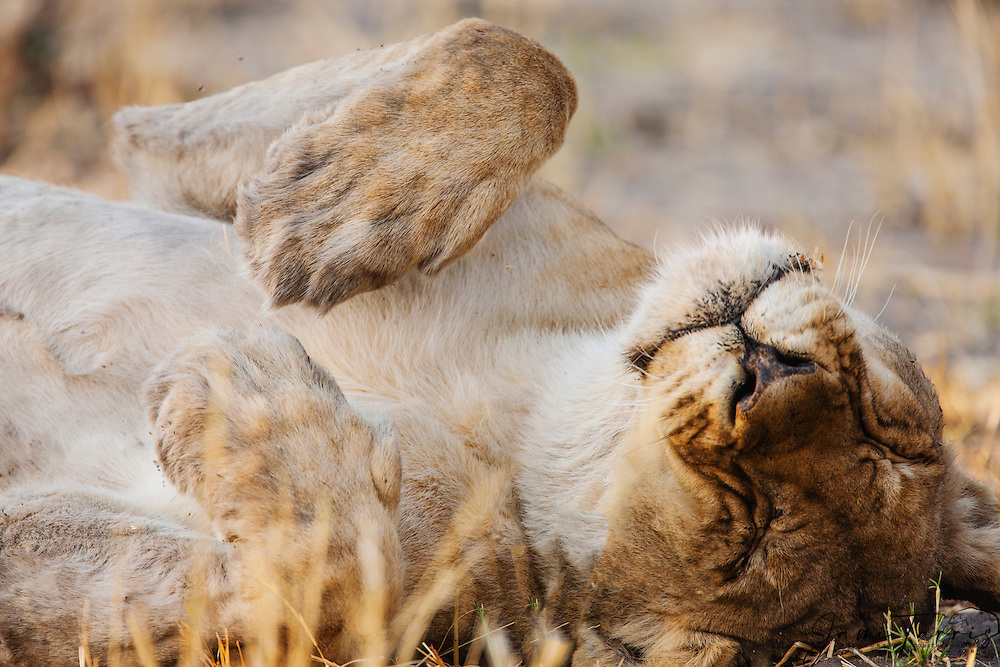 A close-up of a female lioness (Panthera Leo) laying on her back while sleeping, Chobe National Park, Botswana,Africa