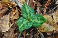 Melanthiaceae (Trillium and Death Camas Family)