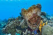 Caribbean barrel sponge - Eponge tonneau (Xestospongia muta), Cozumel, Yucatan peninsula, Mexico.