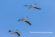 00671-01107 American White Pelicans (Pelecanus erythrorhynchos) in flight Clinton Co.  IL