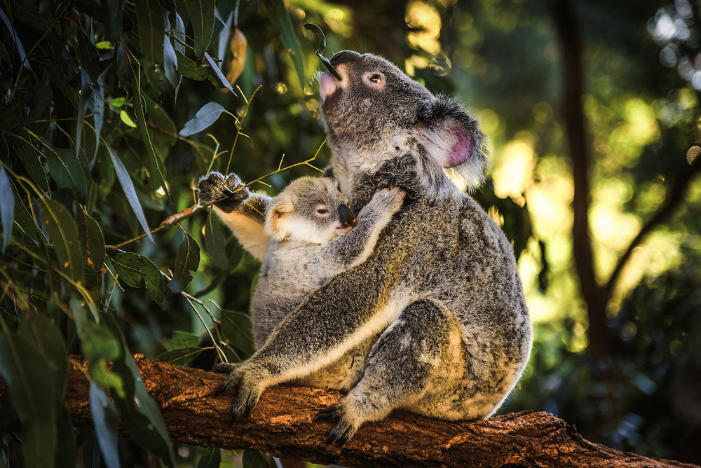 Koala with a baby, Queensland