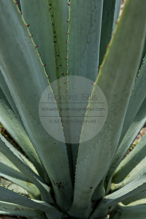 Close up of the spears on a blue agave plants growing in a field November 5, 2014 in Matatlan, Mexico. The plants which take up to 12-years to grow are used in making Mezcal.