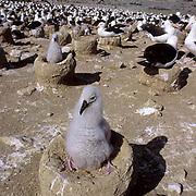 Black-browed Albatross (Diomedea melanophris) Chick in rookery Steeple Jason Isle. Falkland Islands.