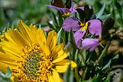 Balsasmroot and sage viloet, spring, Kittitas County, Washington, USA