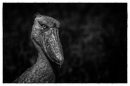 Shoebill were hunted and driven close to extinction. Now, only 9 Shoebill are resident at the Mabamba Swamp, where they are protected. Will they be the final remnants?