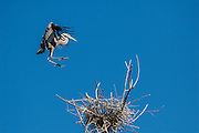 Great blue herons at rookery in Wyoming