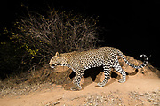 A remote camera trap captures a leopard, Panthera pardus, Kalama Conservancy, Samburu, Kenya.