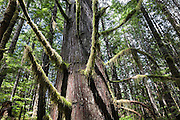 Moss covers tree branches reaching for the sky in Wallace Falls State Park, Gold Bar, Washington, USA.