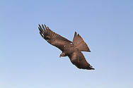 Black Kite Milvus migrans - Adult. Wingspan 145-155cm. A medium-sized raptor that is most easily confused with a Red Kite or Marsh Harrier. All birds have mainly brown plumage that is palest on the head. In flight, note the forked tail, although this can appear straight-ended when broadly fanned. Note also the pale panel on the outer flight feathers of the otherwise rather dark wings. At very close range, the yellow base to the bill and the yellow legs can sometimes be discerned. The Black Kite breeds in mainland Europe and winters in Africa. Vagrants to our region usually turn up in spring and autumn, and perhaps 10 or so might be recorded in a good year. However, most individuals seldom linger in one location for very long and so usually they are seen by just a handful of lucky observers.