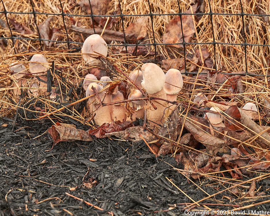 Mushrooms growing on black tree mulch. Image taken with a Leica SL2  camera and 24-90 mm lens.