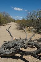 Dry wash, Saguaro National Park, Arizona