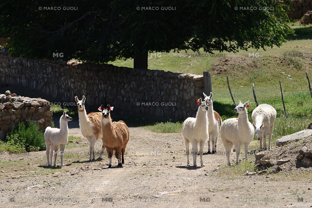 LLAMAS (Lama glama) ENFLORADAS, ADULTOS Y CHULENGO, COCHINOCA, PROV. DE JUJUY, ARGENTINA