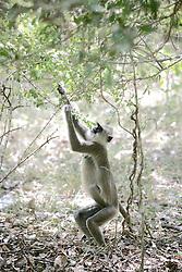 Hanuman Langur