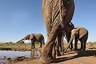 African elephant (Loxodonta africana) at a waterhole in the Mashatu Private Game Reserve, Tuli Block, Botswana / Afrikanische Elefanten (Loxodonta africana) an einem Wasserloch im Mashatu Private Game Reserve im Suedosten von Botswana im Dreilaendereck mit Suedafrika und Zimbabwe zu Beginn der Regenzeit im November
