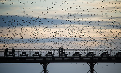© Licensed to London News Pictures. 16/02/2014. Aberystwyth, UK At sunset, at the end of  a gloriously sunny day, a murmuration of tens of thousands of starlings fly in to roost on the cast iron legs of the Victorian seaside pier at Aberystwyth today 16th February 2014. Photo credit : Keith Morris/LNP