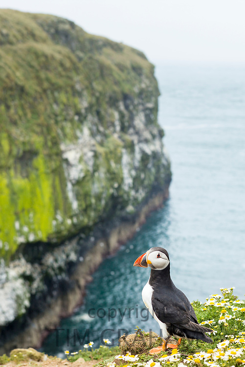 Puffin - pelagic seabird, Fratercula, landed on clifftop in breeding season on island of Skomer, National Nature Reserve, Wales