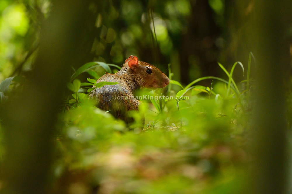 A Central American Agouti (Dasyprocta punctata) on Barro Colorado Island, home to the Smithsonian Tropical Research Institute, Panama.